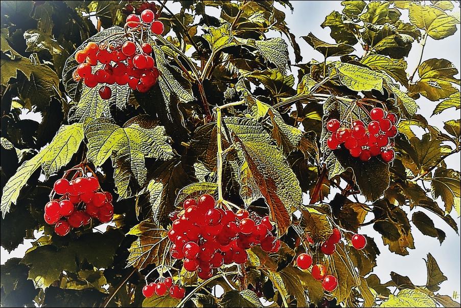 2018-09-15 LüchowSss Garten Gemeiner Schneeball (Viburnum opulus) (Filter)